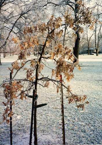 collett-park-young-oak.jpg