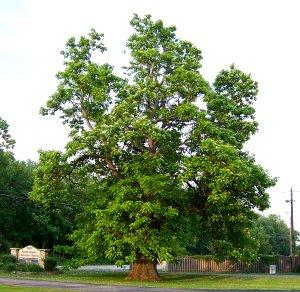 Old catalpa tree, North Liberty Christian Church