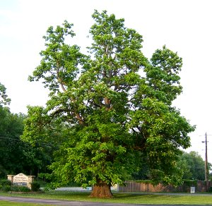 Old catalpa tree, North Liberty Christian Church