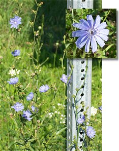 Blue flowers along the National Road