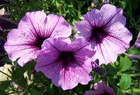 Petunias at the end of the National Road