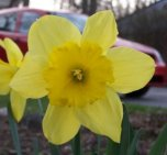 Yellow narcissus in my front yard