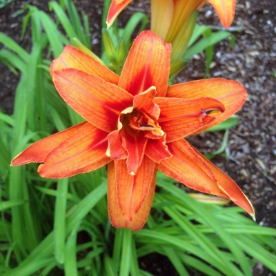 solstice_tiger_lily